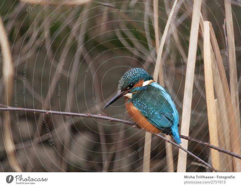 Eisvogel im Schilf Natur Tier Sonnenlicht Schönes Wetter Schilfrohr Flussufer Wildtier Vogel Tiergesicht Flügel Krallen Schnabel Feder Auge Eisvögel 1