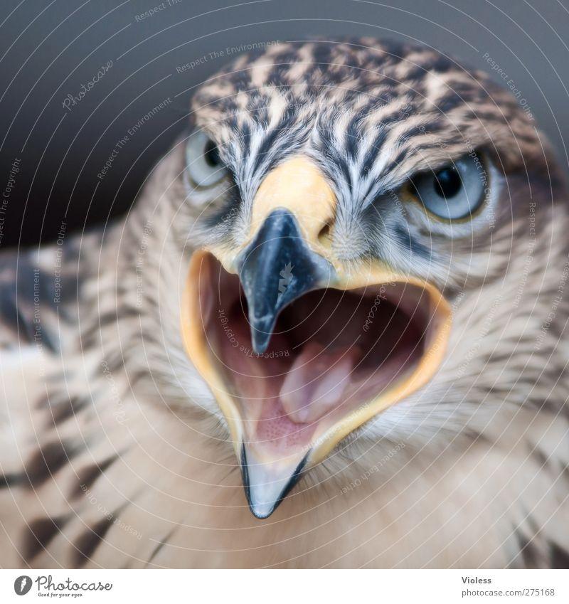 schau mir in die Augen...... Tier Vogel Tiergesicht 1 beobachten schreien bedrohlich gefährlich Kraft Greifvogel Falken Angesicht zu Angesicht Blick Aggression