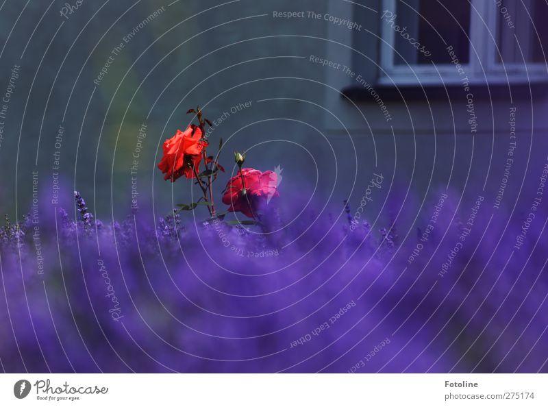 Wir sind anders!!! Umwelt Natur Pflanze Sommer Blume Rose Blüte Garten natürlich stachelig violett rot Haus Fenster Lavendelfeld Lawendel Farbfoto mehrfarbig