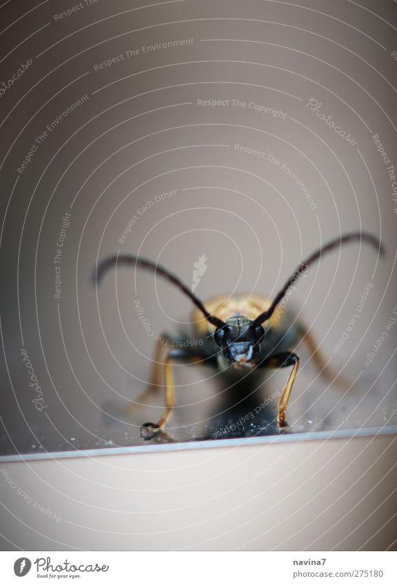 Käfer Antenne Tier 1 klein gold schwarz frontal Farbfoto Außenaufnahme Detailaufnahme Menschenleer Textfreiraum oben Tag Schwache Tiefenschärfe
