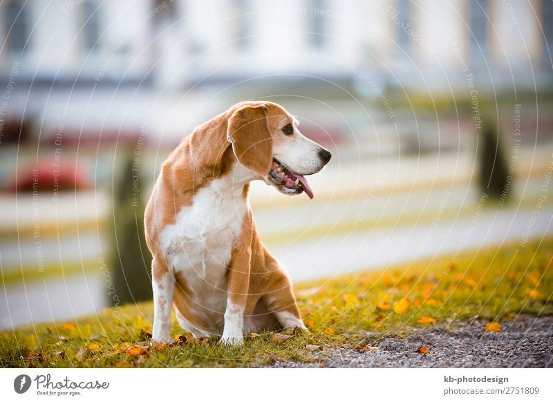 Portrait of a beagle dog Tier Haustier Hund Beagle 1 Blick Dog Race Dog breed purebred Friendship mammal Domestic animal young clever Head Snout Floppy ears