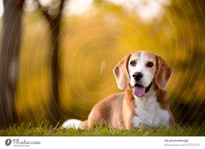 Portrait of a beagle dog Tier Haustier Hund Beagle 1 Blick sitzen Dog Race Dog breed purebred Friendship mammal Domestic animal young clever Head Snout