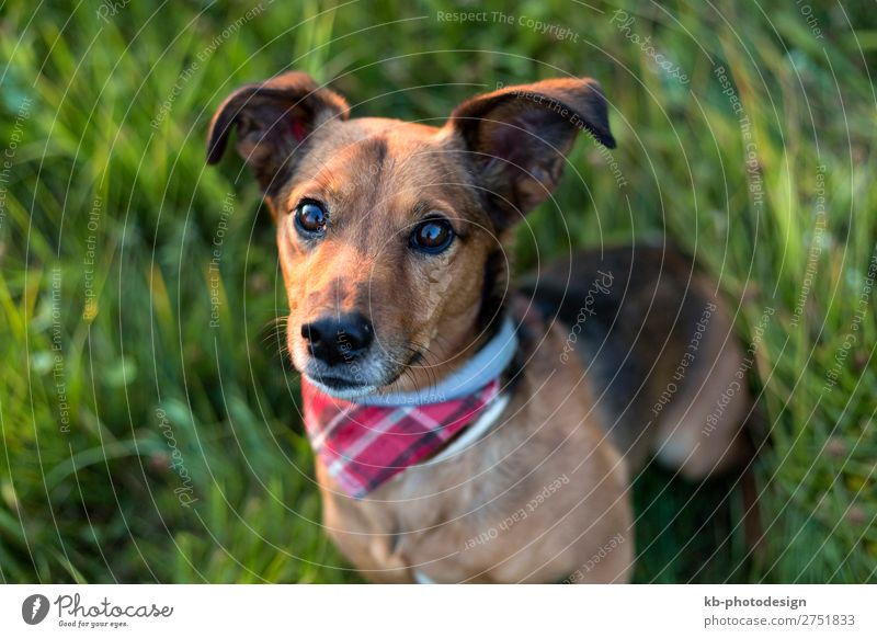 Portrait of a Terrier Dachshund Mix Tier Haustier Hund 1 warten Dackel mixture Dog breed run running Friendship mammal Domestic animal young clever Head Snout