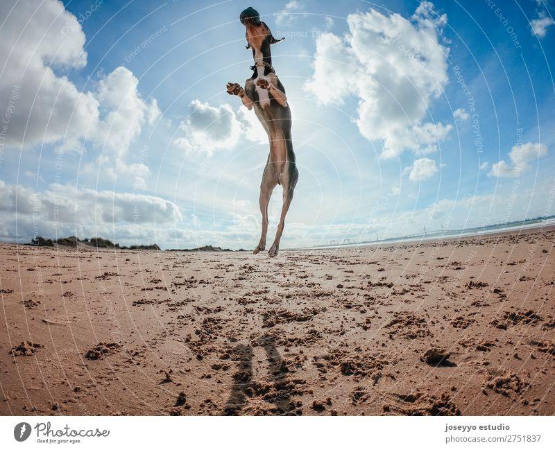 Mini Pincher Hund am Strand spielend. Freude Glück schön Spielen Sommer Meer Freundschaft Natur Tier Sand Haustier springen dünn lustig grau Aktion sportlich