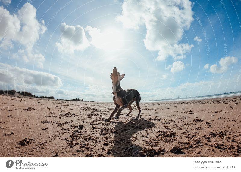 Mini Pincher Hund beim Spielen mit dem Ball am Strand Freude Glück schön Sommer Meer Freundschaft Natur Tier Sand Haustier springen dünn lustig grau Aktion wach