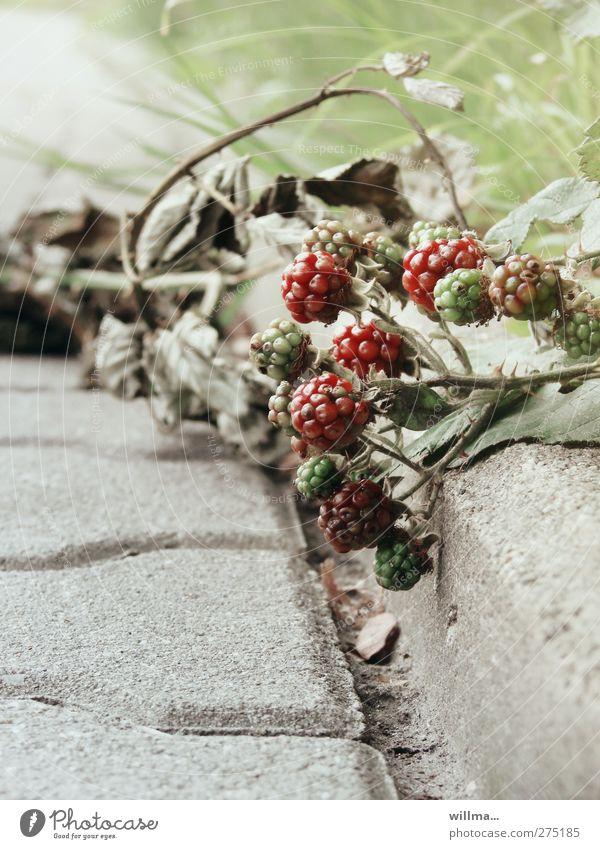 wegelagerer Frucht Umwelt Natur Pflanze Sommer Herbst Sträucher Wildpflanze Brombeeren Stein grün rot unreif Wegrand welk Dorn Kletterpflanzen Straßenrand