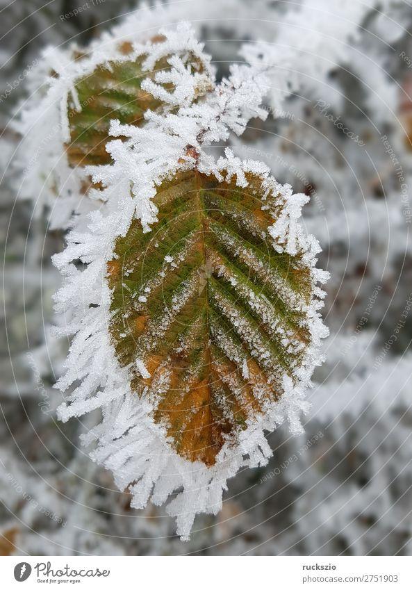 Hoarfrost; Bookblaet, beech Winter Blatt kalt Raureif Buchenblatt Winterimpression Reif bereift bereifte Eindruck Eis Leaves Sheet Winter imprint Frosted