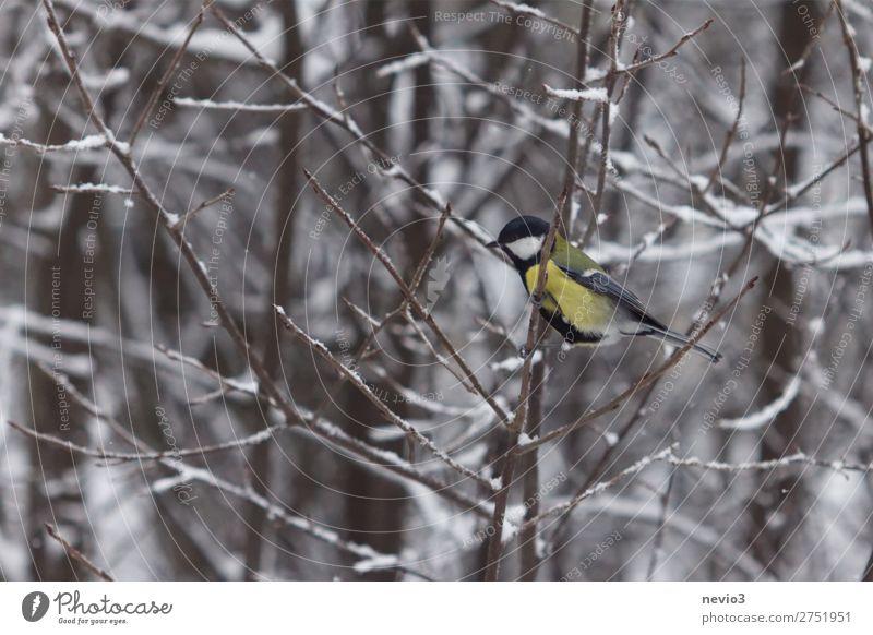 Kohlmeise in der Hecke Natur Tier Wildtier Vogel 1 klein Neugier niedlich wild gelb Meisen mehrfarbig frei Kontrast Winter Winterwald Ast Schnee Schneefall