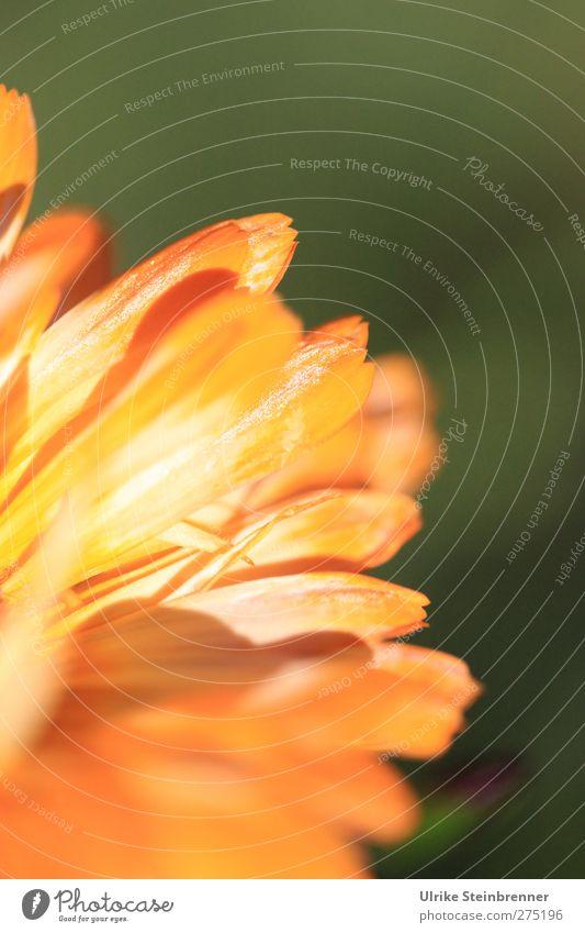 """Sommersonne genießen Umwelt Natur Pflanze Blume Blüte Ringelblume """"Calendula officinalis,"""" Korbblütengewächs Garten Wiese Blühend glänzend leuchten stehen"""