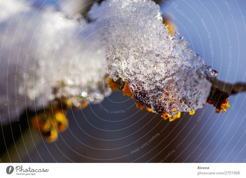 Frühblüher haben's nicht leicht Himmel Natur blau weiß Winter gelb kalt natürlich Schnee Eis Schönes Wetter Hoffnung Frost frieren Optimismus Eiskristall