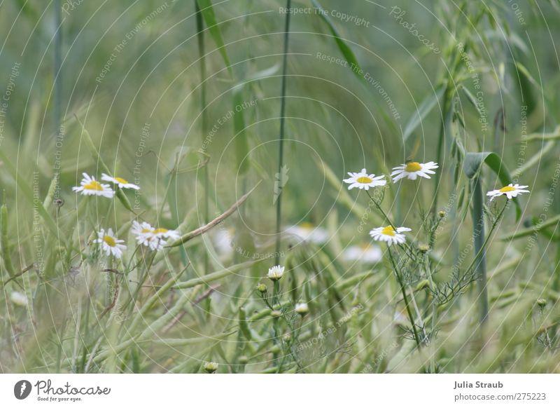 Korn Natur grün Sommer gelb Wärme braun Feld Wind Schönes Wetter Kamillenblüten Weizenähre Haferähre