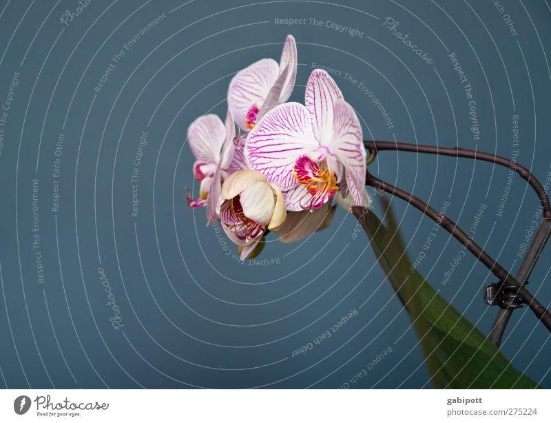 die schöne Genügsame Natur Pflanze Blume Orchidee Blatt Blüte Wildpflanze Topfpflanze exotisch Blühend Wachstum Duft positiv blau grün rosa Begierde Romantik