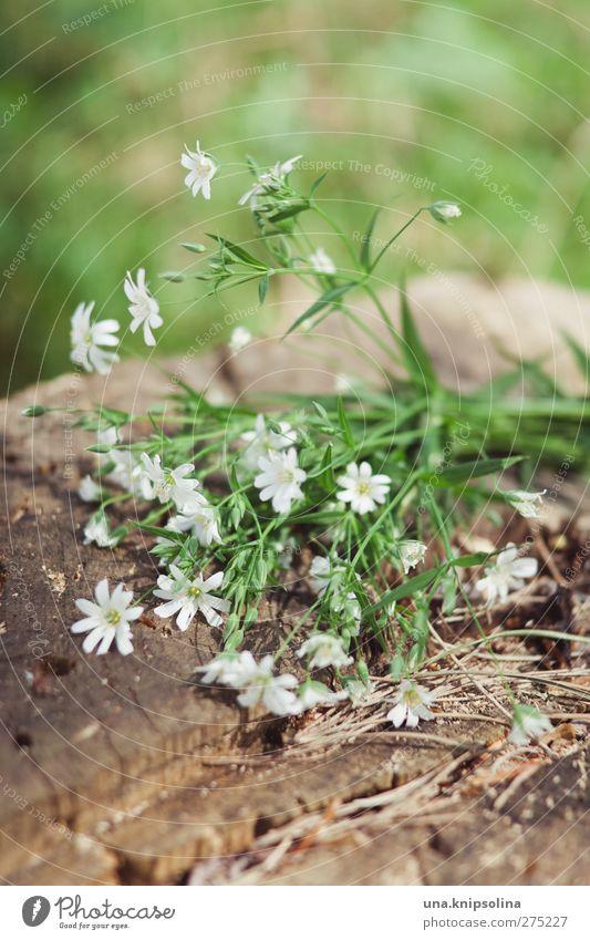 verdoyant et blanc... Natur Pflanze Blume Blatt Blüte Grünpflanze Baumstamm Holz Blühend klein grün weiß Farbfoto Gedeckte Farben Außenaufnahme Nahaufnahme