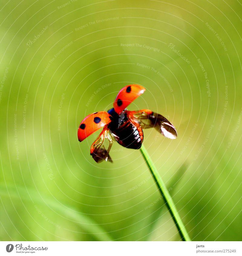 kleine freiheit Umwelt Natur Pflanze Tier Frühling Sommer Wildtier 1 fliegen natürlich Frühlingsgefühle Marienkäfer Abheben Flügel Farbfoto Außenaufnahme