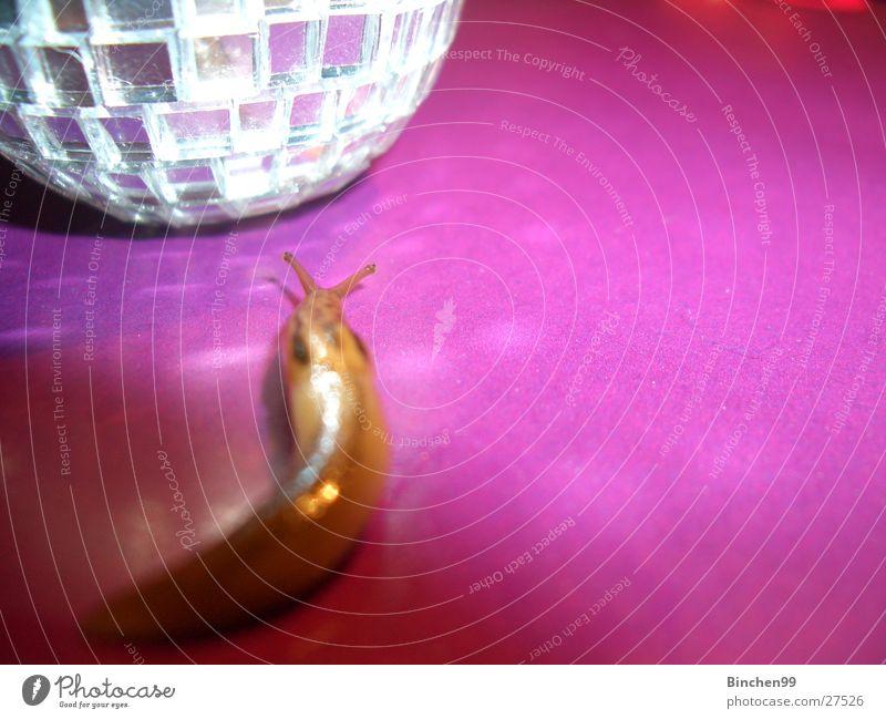 Discoschleicher Nacktschnecken langsam violett krabbeln rosa Vorsicht Fühler Party schleichen Blick glibschig Cover Partygast Discokugel Glätte
