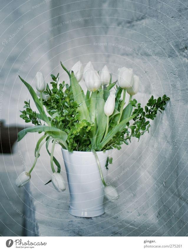 Hiddensee | Schaprode | ...what you always said... Pflanze Blume Tulpe weiß grau grün Wand Mauer Vase Blumenstrauß Linie hängen gekrümmt Blatt kalt Stimmung