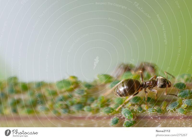 Zuchtkontrolle Umwelt Natur Pflanze Tier Sommer Wildpflanze Wiese Wald Tiergruppe Arbeit & Erwerbstätigkeit Kommunizieren grün Ameise Blattläuse melken