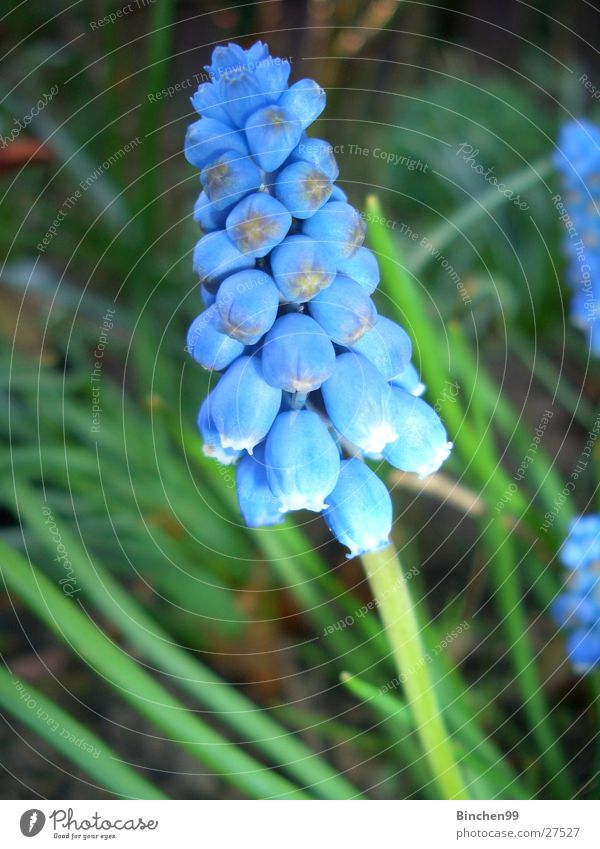 Blaues Wunder Blume Frühling grün Beet Pflanze Traubenhyazinthe Garten blau Rasen Natur