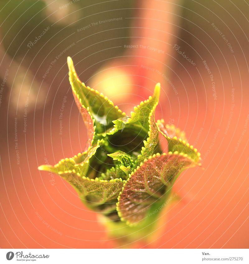 . Natur grün rot Pflanze Blatt Wärme Frühling Garten frisch Blattknospe