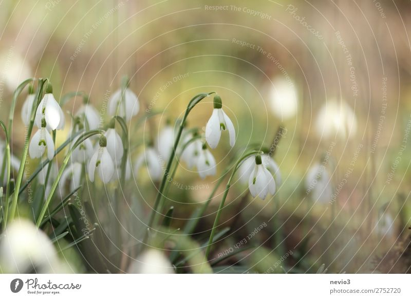 Schneeglöckchen im Garten Natur Grünpflanze Wildpflanze Blühend schön neu grün weiß Stimmung Lebensfreude Frühlingsgefühle Vorfreude Blume Blumenwiese