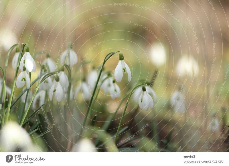 Schneeglöckchen im Garten Natur schön grün weiß Blume Blüte Frühling Stimmung frisch Lebensfreude Beginn Schönes Wetter Blühend neu Jahreszeiten