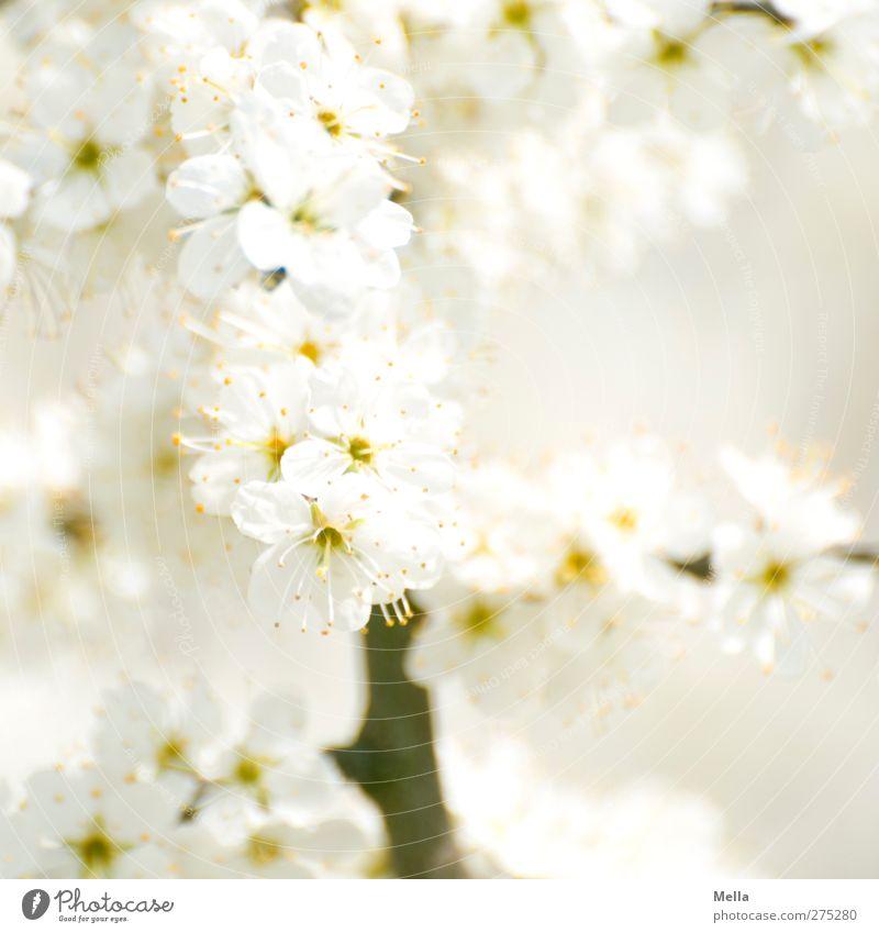 Weiß mit Ast (aber ohne Blumenstrauß) Umwelt Natur Pflanze Frühling Sommer Sträucher Blüte Blühend Wachstum Duft hell schön nah natürlich weiß Farbfoto