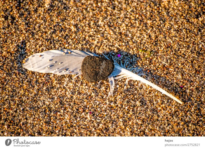 Feder am Strand Natur Sand Vogel weich braun weiß Vogelfeder Möwenfe Kiesel fluffig zerbrechlich Nahaufnahme Textfreiraum Farbfoto Außenaufnahme Menschenleer