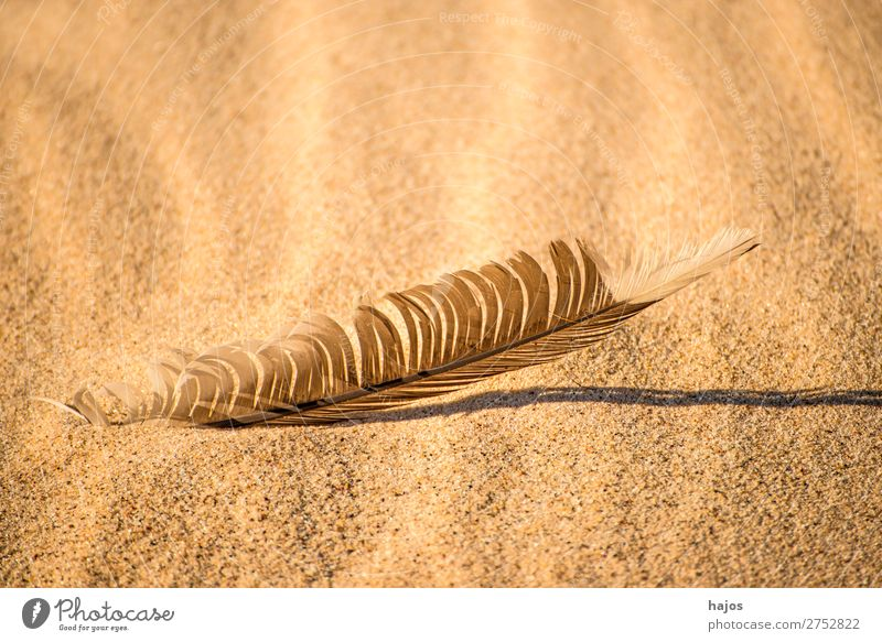 Vogelfeder am Strand Natur Sand Wildtier weich braun Feder Möwenfeder Sonne Schatten Textfreiraum Farbfoto Außenaufnahme Nahaufnahme Menschenleer