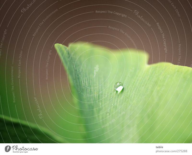 Wasserkugel Natur Pflanze Urelemente Wassertropfen Regen Baum Blatt Grünpflanze Nutzpflanze Wildpflanze exotisch Ginkgo Blattadern glänzend leuchten liegen