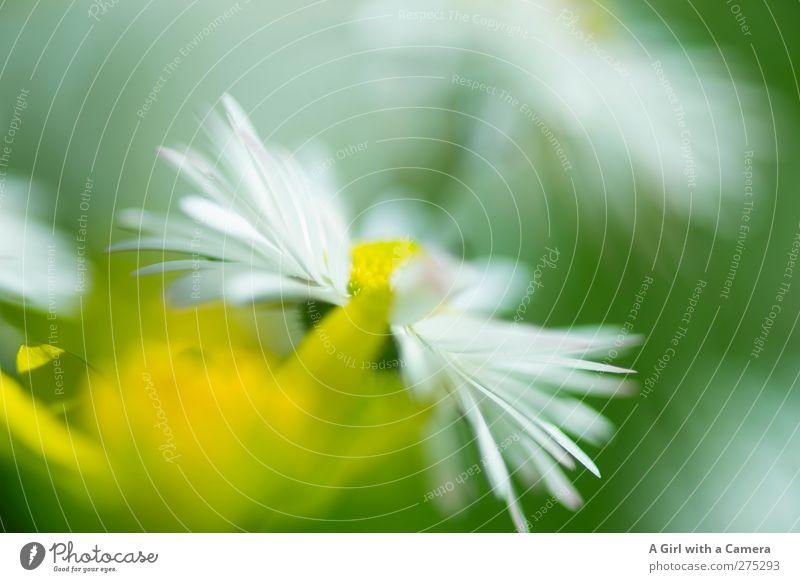 Hiddensee l flower power Umwelt Natur Pflanze Blume Margerite Garten Park Wiese Freundlichkeit Fröhlichkeit frisch schön nah natürlich wild gelb grün weiß
