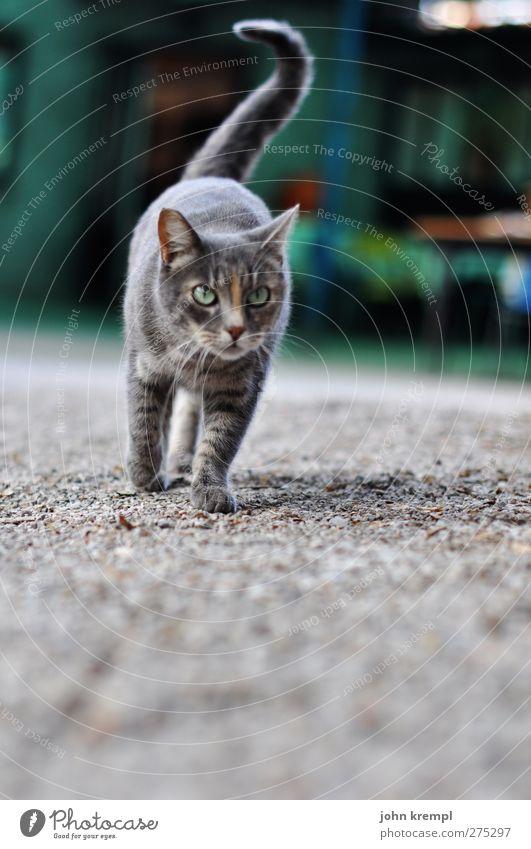 mein erstes, einziges und letztes katzenbild Katze grün Tier grau elegant beobachten Bauernhof Jagd Haustier Kies kuschlig schleichen