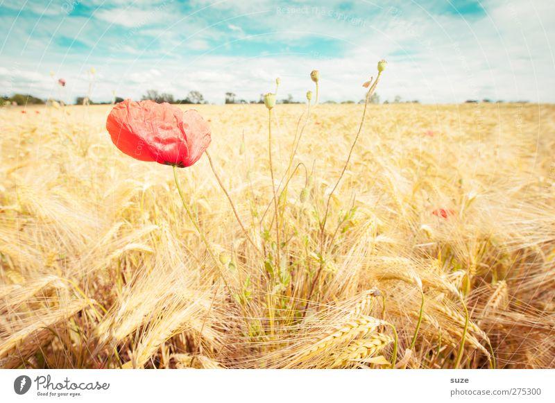 Mohnschein Sommer Landwirtschaft Forstwirtschaft Umwelt Natur Landschaft Pflanze Himmel Wolken Schönes Wetter Wind Blüte Feld Wachstum schön gelb rot Stimmung