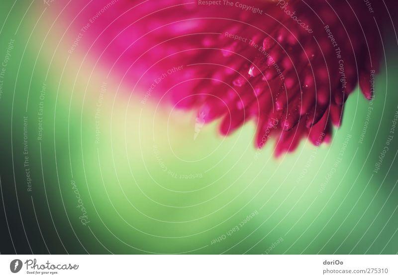 wait for me Pflanze Frühling Schönes Wetter Blume Blüte Garten grün rosa rot Farbfoto Nahaufnahme Detailaufnahme Makroaufnahme Textfreiraum unten Unschärfe