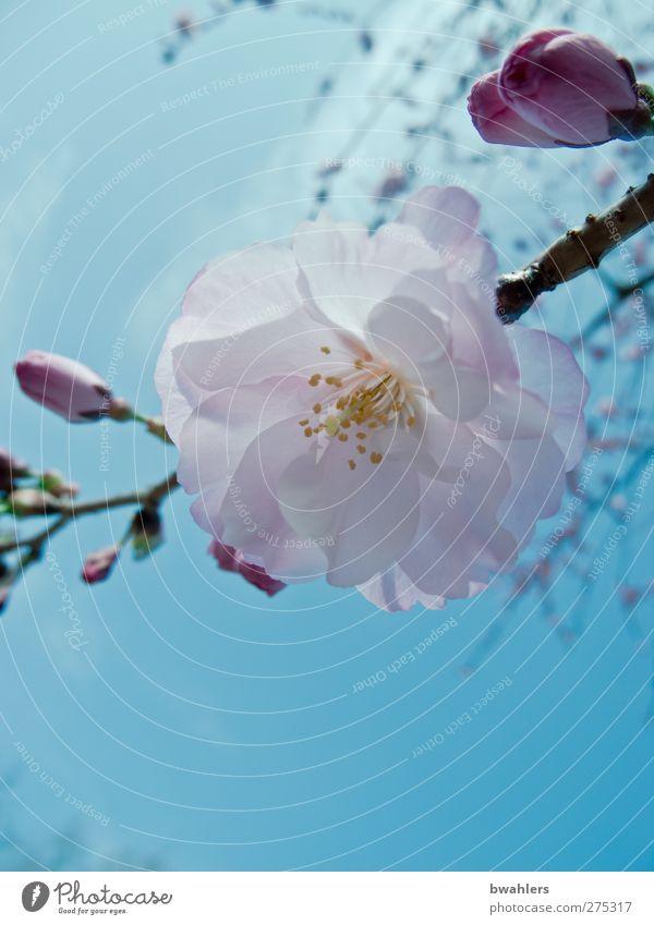 Blüten-Traum Natur Pflanze Himmel Frühling Schönes Wetter blau rosa weiß Farbfoto Außenaufnahme Nahaufnahme Tag Sonnenlicht Starke Tiefenschärfe