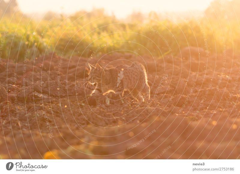 Getigerte Katze auf Beutezug Sommer Sonne Natur Landschaft Gras Feld Tier 1 Jagd gelb gold Lebensfreude Frühlingsgefühle Sonnenaufgang Sonnenuntergang Hauskatze