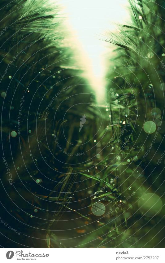 Morgentau im Getreidefeld Natur Landschaft Frühling Sommer Grünpflanze Nutzpflanze frisch schön grün Halm Getreideernte Gerstenfeld Gerstenähre Ackerbau anbauen