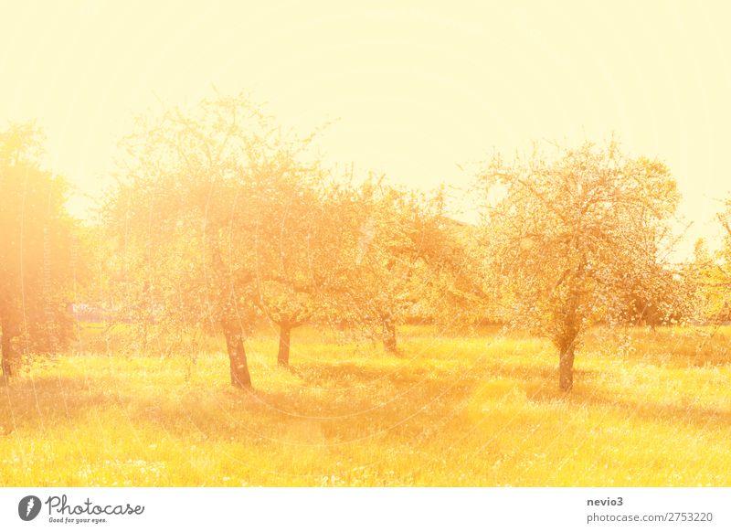 Alte Apfelbäume im Licht der Morgensonne Sommer Sommerurlaub Sonne Natur Landschaft Baum Gras Garten Park Wiese schön gelb gold Gefühle Fröhlichkeit