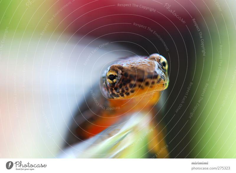 Molchi am Rande Tier Frosch 1 ästhetisch glänzend nass Neugier braun grün orange rot Leopardenmuster gold Farbfoto Außenaufnahme Makroaufnahme Tag Unschärfe