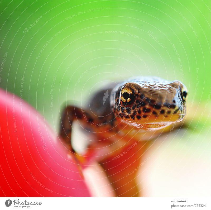 Molchi im Anmarsch Tier Frosch Tiergesicht 1 nah Neugier braun gold grün orange rot Radieschen Leopardenmuster Farbfoto Außenaufnahme Makroaufnahme Tag