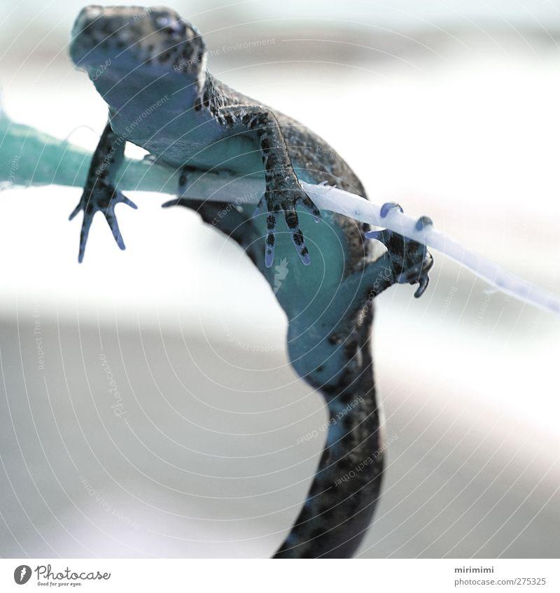 Molchi in Blue Tier entdecken hängen Frosch Molch Leopardenmuster