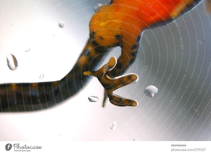 Molchi auf großem Fuß Frosch nass gelb grau grün orange Leopardenmuster Schwanz Punkt Farbfoto Außenaufnahme Makroaufnahme Tag Unschärfe Froschperspektive