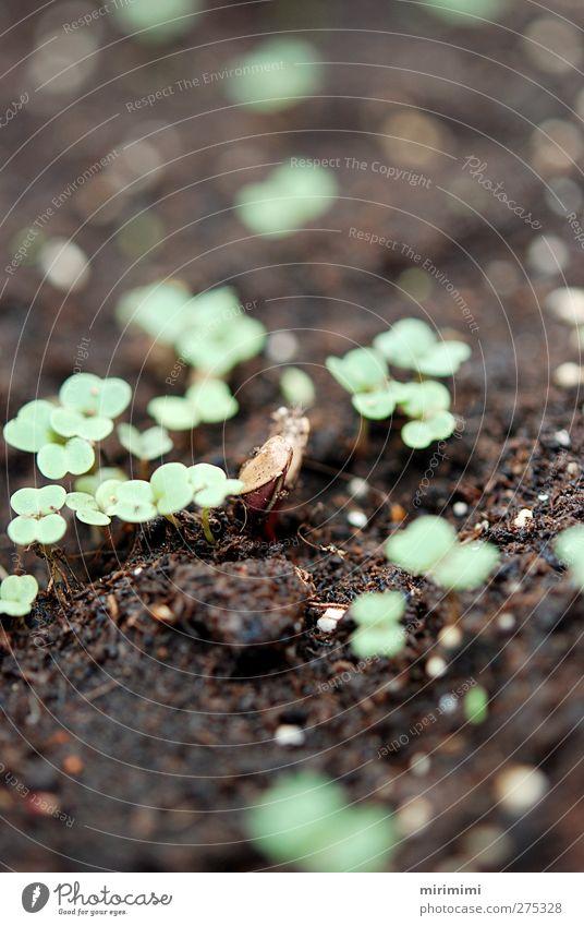 Zarte Anfänge Natur Pflanze Frühling klein Erde Wachstum neu keimen
