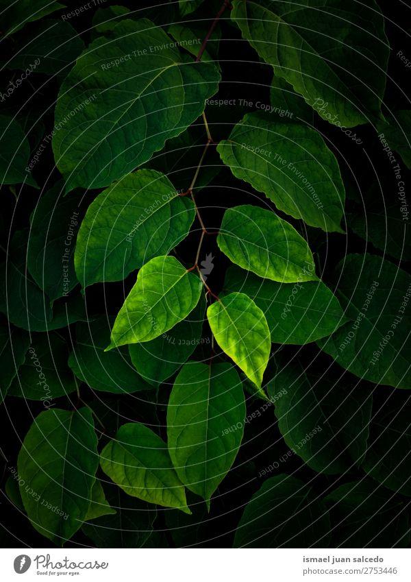 grüne Blätter Textur Pflanze Blatt Garten geblümt Natur Dekoration & Verzierung abstrakt Konsistenz frisch Außenaufnahme Hintergrund Beautyfotografie