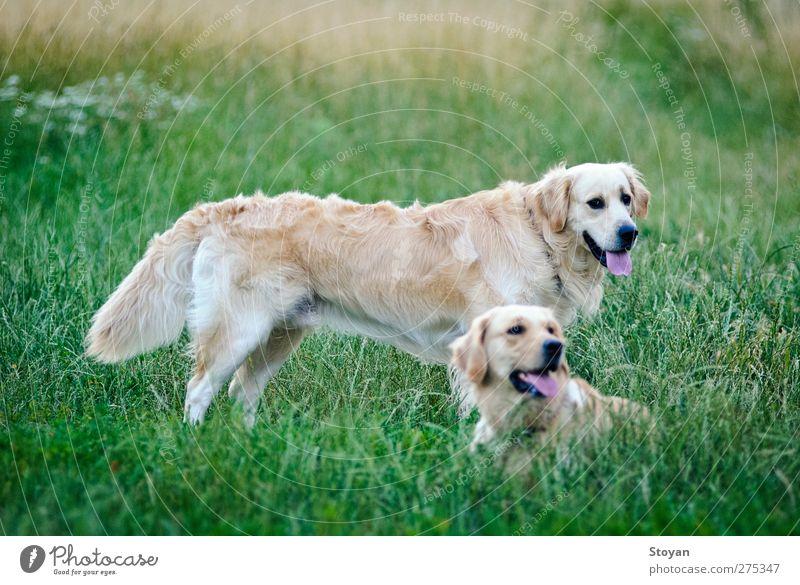 Hund Natur weiß grün schön Pflanze Tier schwarz Gras Garten Park Gesundheit Feld gold Tierpaar groß