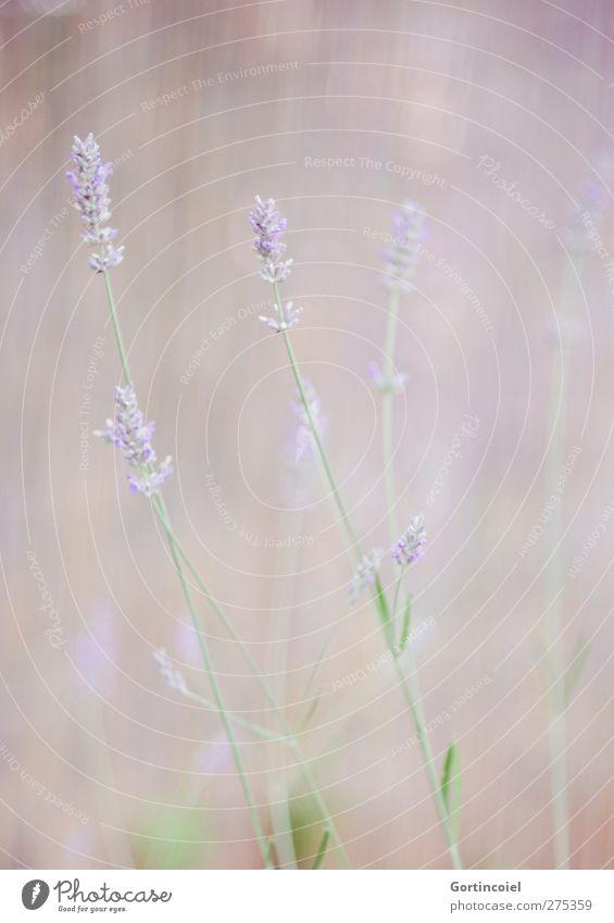 Lavande Umwelt Natur Pflanze Blume Blüte Nutzpflanze violett Lavendel weich sanft Blumenwiese Farbfoto Gedeckte Farben Außenaufnahme Menschenleer