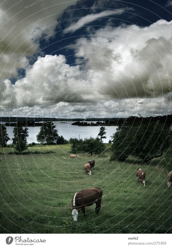 Nordland Umwelt Natur Landschaft Pflanze Tier Himmel Wolken Horizont Klima Schönes Wetter Baum Gras Sträucher Wiese See Smaland Nordeuropa Kuh Nutztier