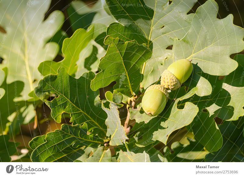 Makro der Eichel Frucht Sommer Natur Baum Blatt Wald Wachstum hell grün Farbe Eicheln Botanik Ast Nut Jahreszeiten Samen Sonnenschein Konsistenz Zweig Holz jung