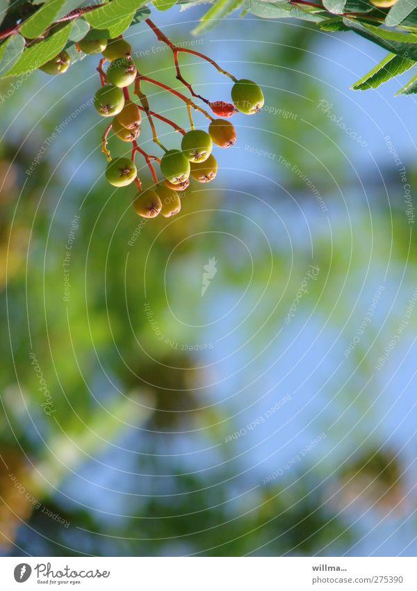 leicht errötend, von oben herab. Natur blau grün Sommer Baum rot Tier Herbst reif hängen Beeren unreif Vogelbeeren Vogelbeerbaum