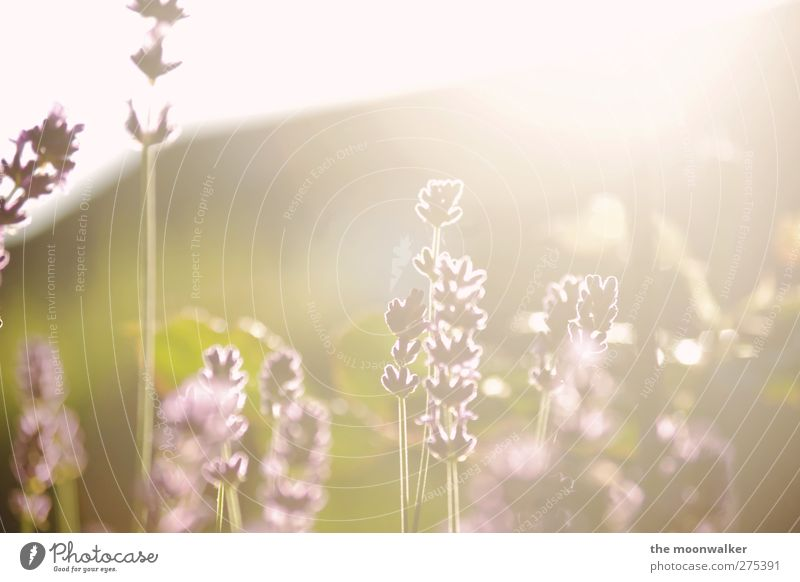 walking on sunshine Natur Pflanze Sonnenaufgang Sonnenuntergang Sonnenlicht Frühling Sommer Blume Blüte Lavendel Lavendelfeld Garten Wiese Südfrankreich