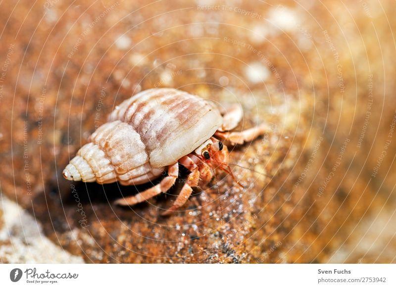 Einsiedlerkrebs schaut aus seiner Muschel exotisch Ferien & Urlaub & Reisen Sommer Strand Meer Häusliches Leben Haus Natur Tier Sand Wasser Küste Haustier klein